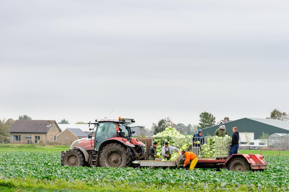 oogsten groene kool