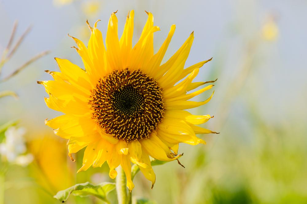 zonnebloem Helianthus annuus