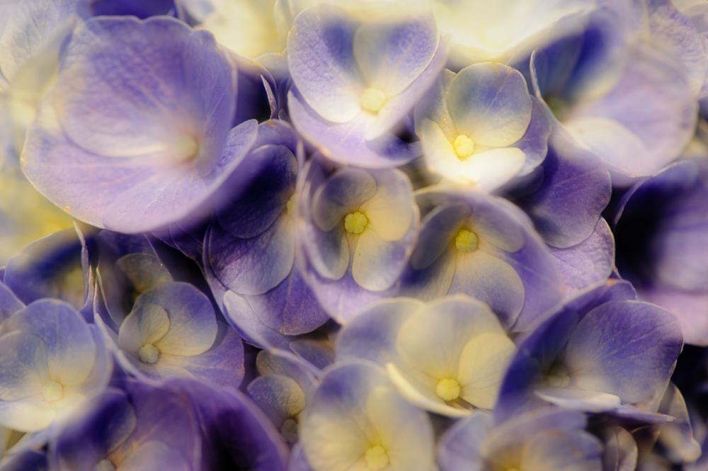 hortensia Hydrangea macrophylla)