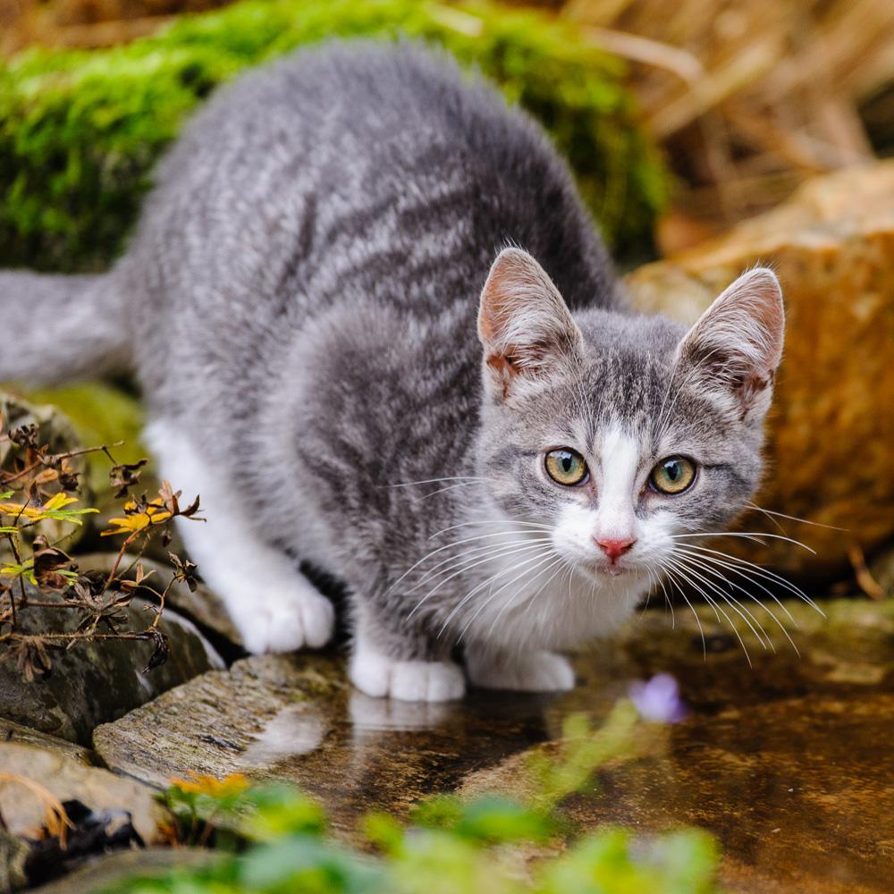 huiskat Felis silvestris catus